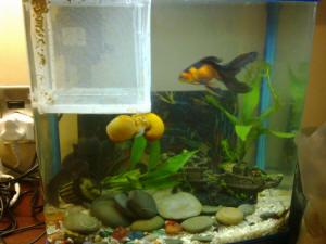 FAQs on Freshwater Aquarium Snail Reproduction/Culture